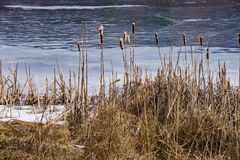 A Group of Winter Cattails by a Frozen Lake. Located in the Blue Ridge Mountains of Virginia, USA Royalty Free Stock Photography
