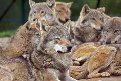 Group wolves. Pack of european gray wolves royalty free stock images