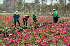Pengzhou, China: Women Working in Azalea Field. A group of women cultivating the soil using hoes in a large garden filled with pink Azaleas bushes in Pengzhou Stock Photography