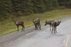 Group of Woodland Caribou along the Alaska Highway Royalty Free Stock Photo