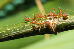 The Group of Working Ants Royalty Free Stock Photos