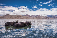 Group of yak standing in the water Royalty Free Stock Images