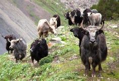 Group of Yaks. Bos grunniens or bos mutus - in Langtang valley - Nepal royalty free stock image