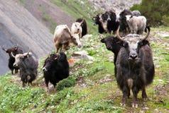 Group of Yaks. Bos grunniens or bos mutus - in Langtang valley - Nepal Stock Image