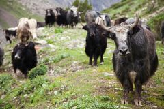 Group of Yaks Stock Photography