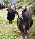 Group of Yaks Royalty Free Stock Photo
