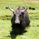 Group of Yaks. Bos grunniens or bos mutus - in Langtang valley - Nepal Royalty Free Stock Images