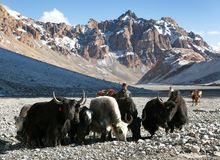 Group of yaks in the great himalayan mountains. LADAKH, INDIA, 25th SEPTEMBER 2013 - group of yaks (Bos grunniens or Bos mutus) and horses with men in the great Stock Photo