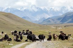 Group of yaks on the mountain road, Kirgizia Royalty Free Stock Photography