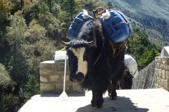 Yaks over a suspension bridge in Tengboche, Everest Base Camp trek, Nepal stock images