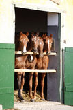 Group of yearlings waiting for riders at the stable door Royalty Free Stock Photography