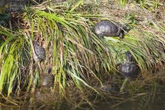 Group of yellow bellied terrapins, Trachemys scripta scripta Stock Photography