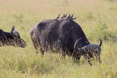 Group of yellow-billed oxpeckers on an african buffalo Royalty Free Stock Photo