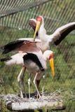 Group of Yellow-billed stork (Mycteria ibis) Stock Photography