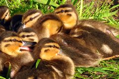 Group of yellow-black ducklings stock image