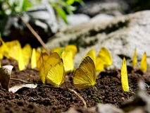 A Group of Yellow Butterflies Royalty Free Stock Images