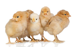 Group of yellow chickens Royalty Free Stock Image