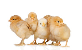 Group of yellow chickens. Isolated on a white background Stock Photography