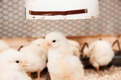 Group of yellow chicks stock photo