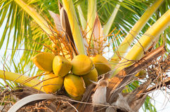 Group of yellow coco nuts in palm tree Stock Image