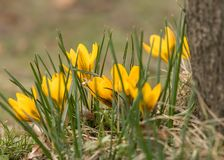 A group of yellow crocus n the garden Stock Photography