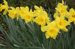 Group of yellow daffodils in the garden. Close up of a group of yellow daffodils in the garden Stock Photos
