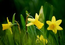Yellow daffodils in a green garden stock photo