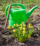 Group of yellow daffodils, watering can and hoe on a bed Royalty Free Stock Photography