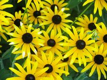 Group of Yellow Daisies Stock Images