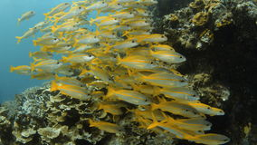 Group of yellow fish. A full shot of yellow fish grouped together and showing a scuba diver to the left stock video footage