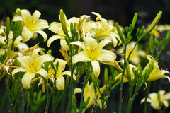 Group of Yellow Flora. Closeup of Yellow Flowers and Stamin Royalty Free Stock Image