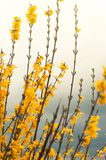 Group of yellow Forsythia flowers towards blue sky in a garden in a spring day. Floral background stock image