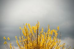 Group of yellow Forsythia flowers towards blue sky in a garden in a spring day. Floral background stock images