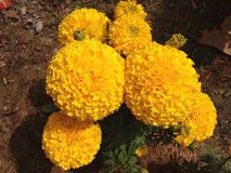 Group of yellow Marigold flower. In the garden Royalty Free Stock Photo
