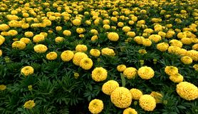 Group of yellow marigolds Stock Photography