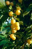 A group of yellow plums Royalty Free Stock Images