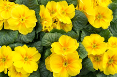 Group of yellow primrose in bloom Royalty Free Stock Image