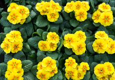 Group of yellow primroses in bloom Royalty Free Stock Photos