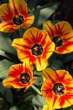 Group of yellow and red flower tulips. Top view Stock Images