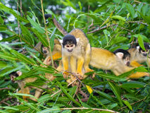 Group of yellow squirrel monkeys Stock Image