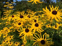 Group of Yellow Sunflowers Royalty Free Stock Photo