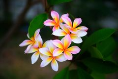 Group of yellow white flowers of Frangipani, Plumeria, stock photo
