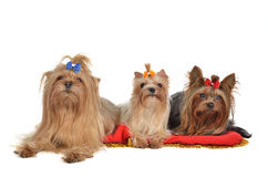 Group of Yorkshire Terrier dogs resting Royalty Free Stock Photography