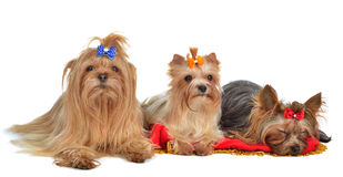 Group of Yorkshire Terrier dogs resting Royalty Free Stock Photo