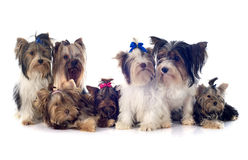 Group of  yorkshire terrier Stock Images