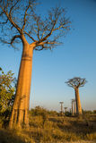 Group of young baobabs at dusk. Madagascar Stock Photography