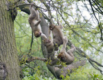 Group of young barbary macaques Stock Photography