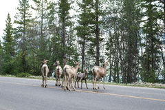 A group of young bighorn sheep on highway Stock Image