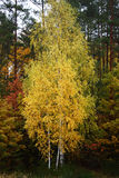 Group of young birches in the autumn. Royalty Free Stock Image