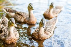 Group of young brown ducks, ducklings swimming together in lake near the coast. Water birds species in the waterfowl family. Group of young brown ducks stock image